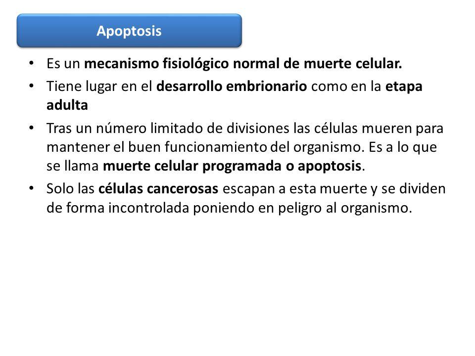 Apoptosis Es un mecanismo fisiológico normal de muerte celular. Tiene lugar en el desarrollo embrionario como en la etapa adulta.
