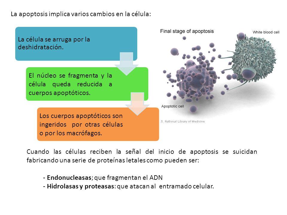 La apoptosis implica varios cambios en la célula: