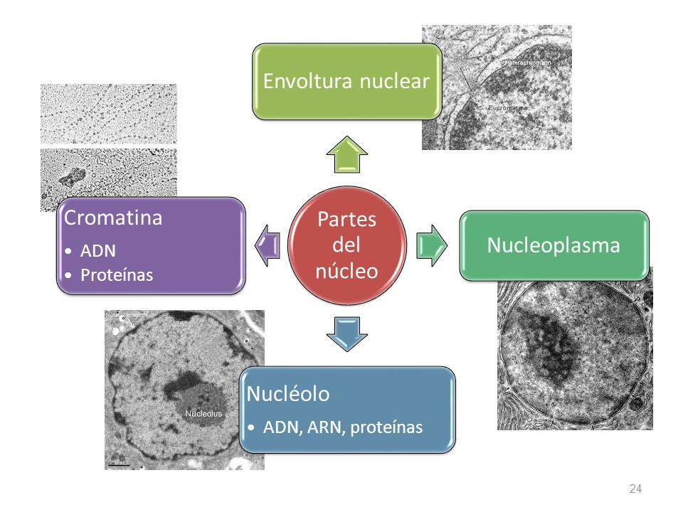 Partes del núcleo Envoltura nuclear. Nucleoplasma. Nucléolo. ADN, ARN, proteínas. Cromatina. ADN.