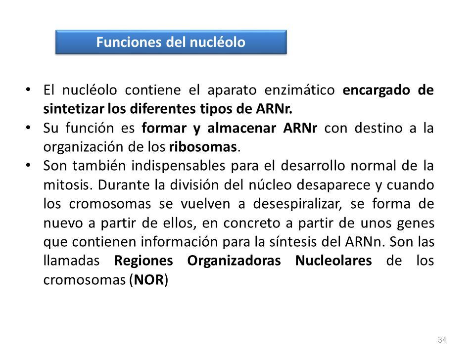 Funciones del nucléolo