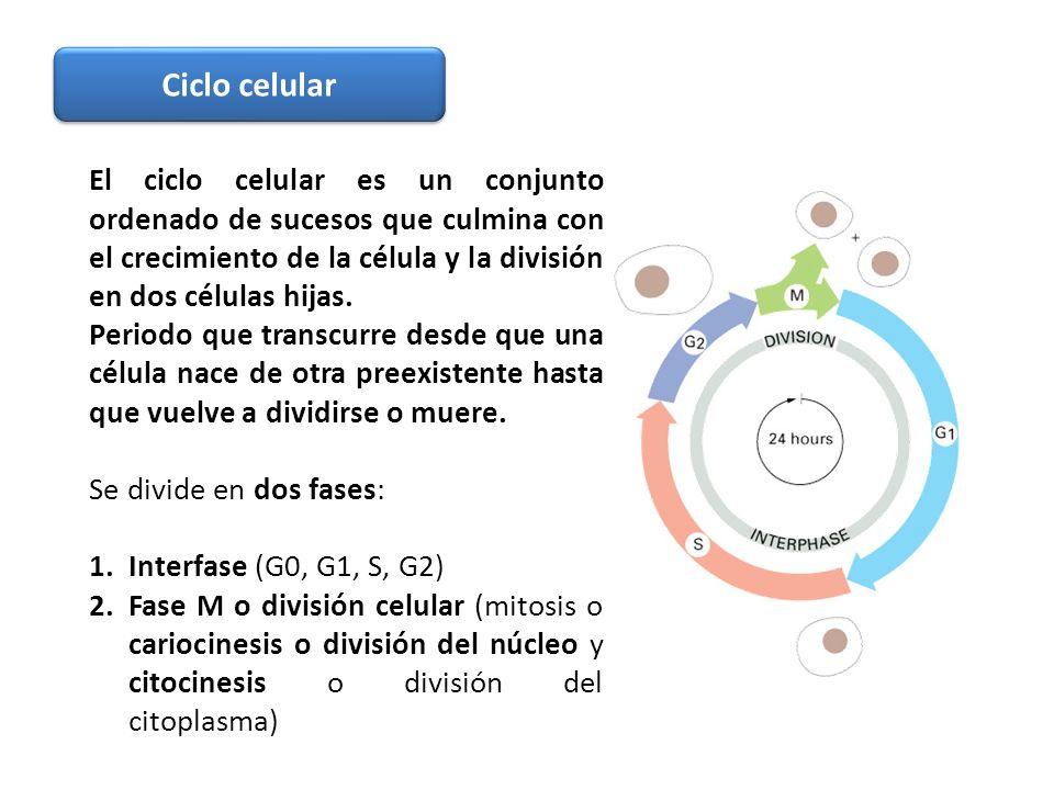 Ciclo celular El ciclo celular es un conjunto ordenado de sucesos que culmina con el crecimiento de la célula y la división en dos células hijas.