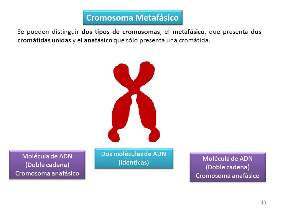 Cromosoma Metafásico