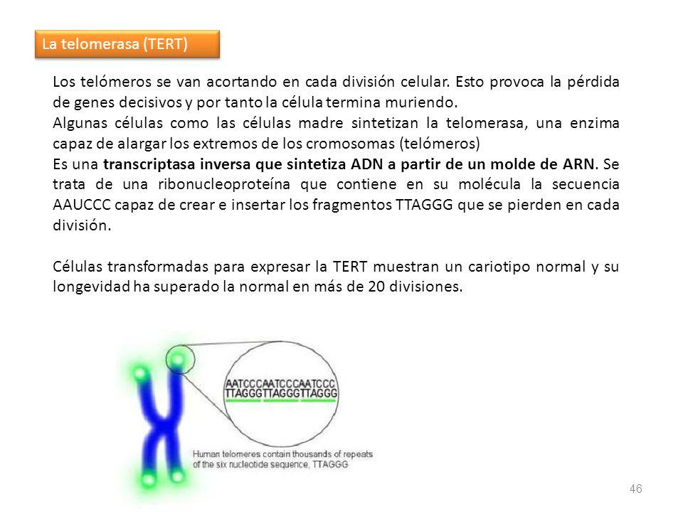 La telomerasa (TERT)