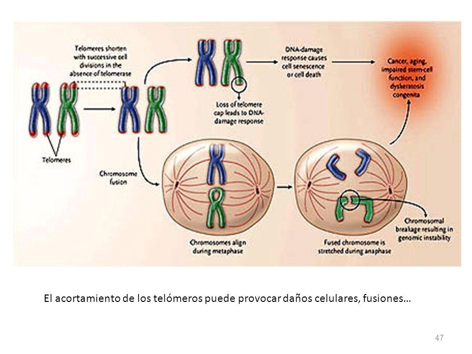 El acortamiento de los telómeros puede provocar daños celulares, fusiones…