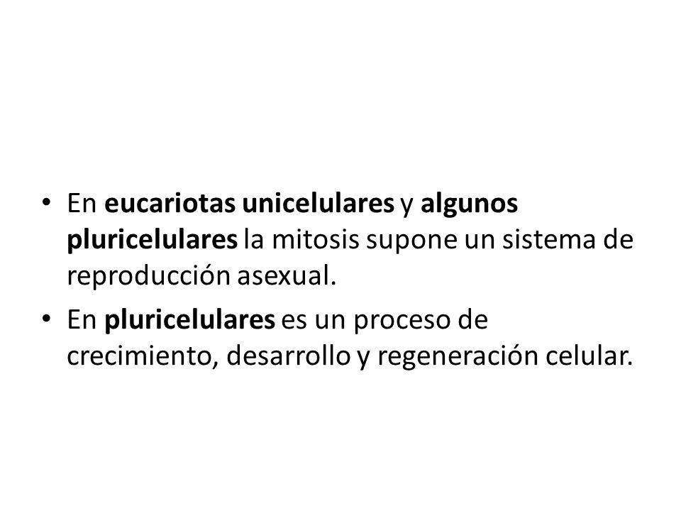 En eucariotas unicelulares y algunos pluricelulares la mitosis supone un sistema de reproducción asexual.