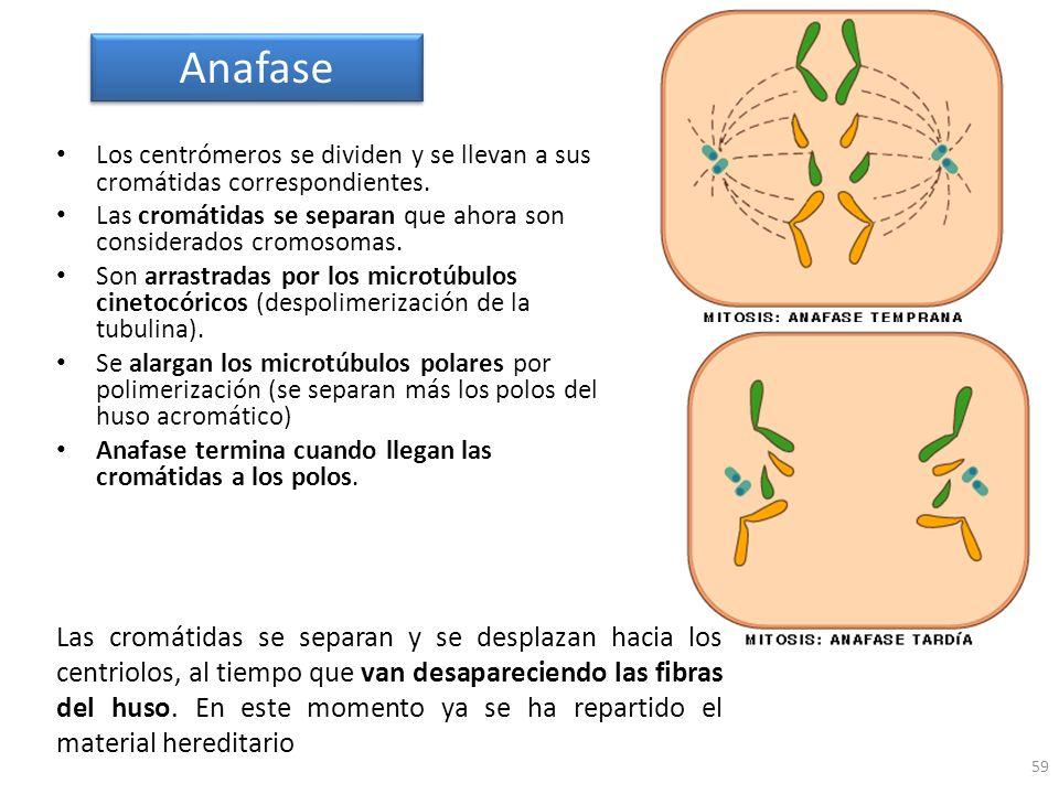 Anafase Los centrómeros se dividen y se llevan a sus cromátidas correspondientes. Las cromátidas se separan que ahora son considerados cromosomas.