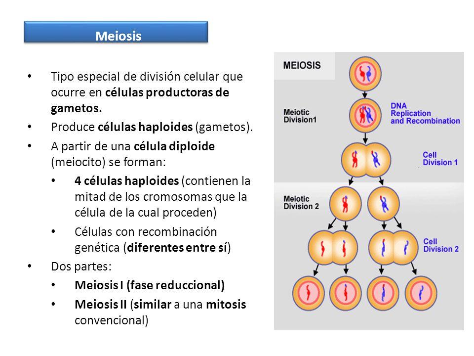 Meiosis Tipo especial de división celular que ocurre en células productoras de gametos. Produce células haploides (gametos).