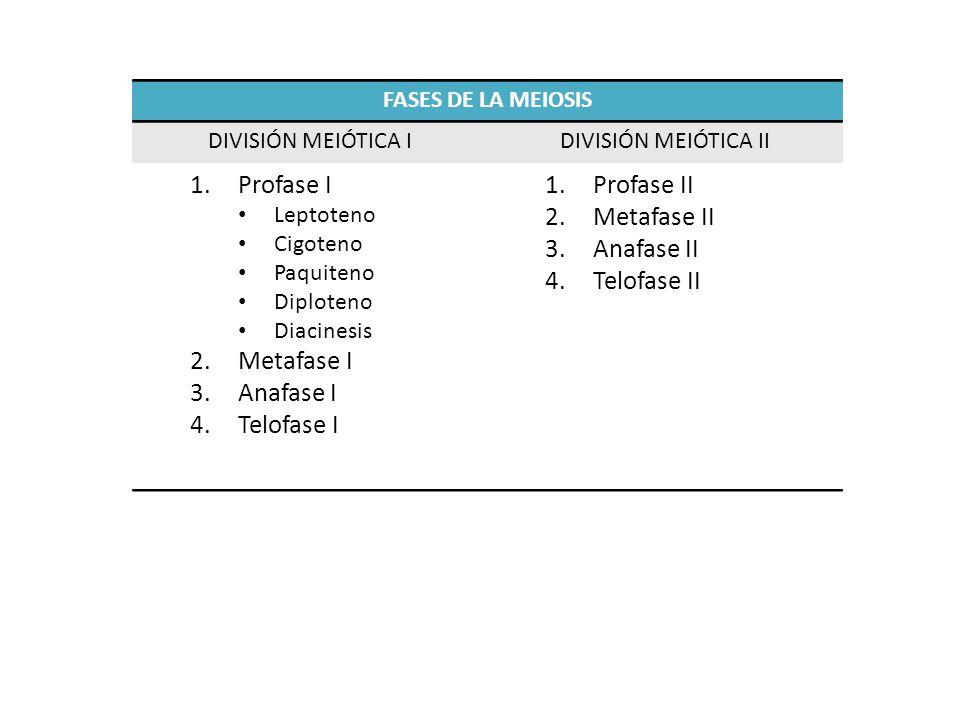 Profase I Metafase I Anafase I Telofase I Profase II Metafase II