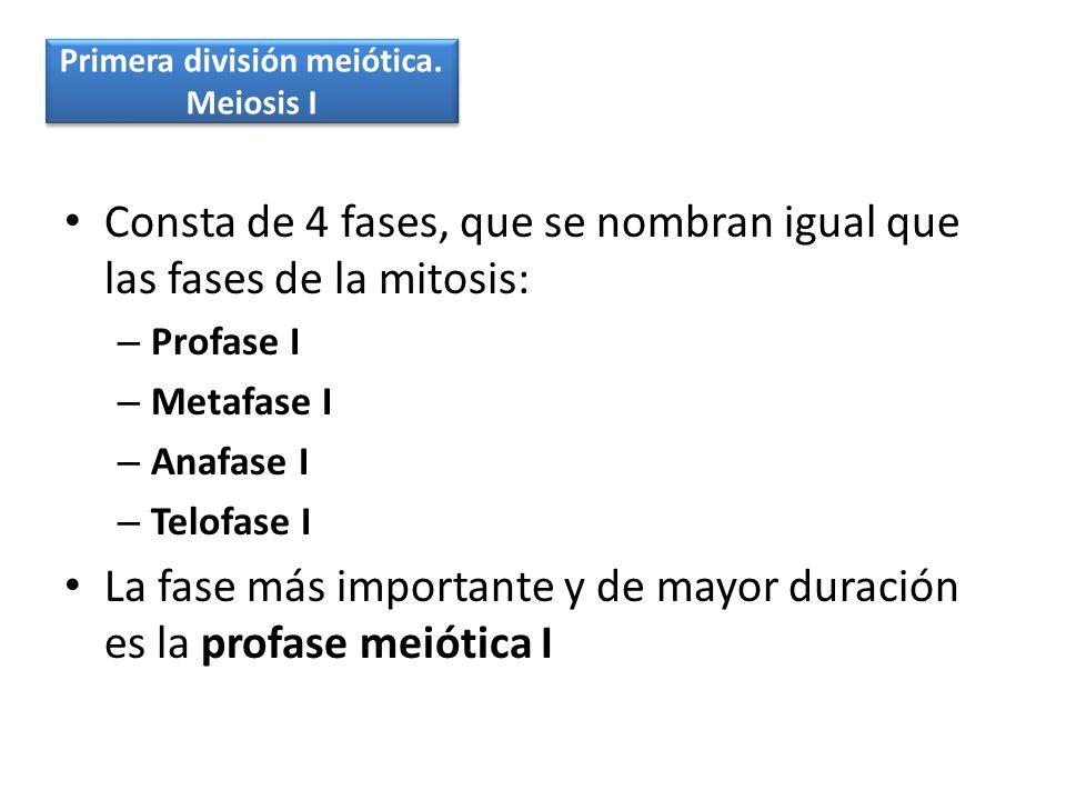 Primera división meiótica.