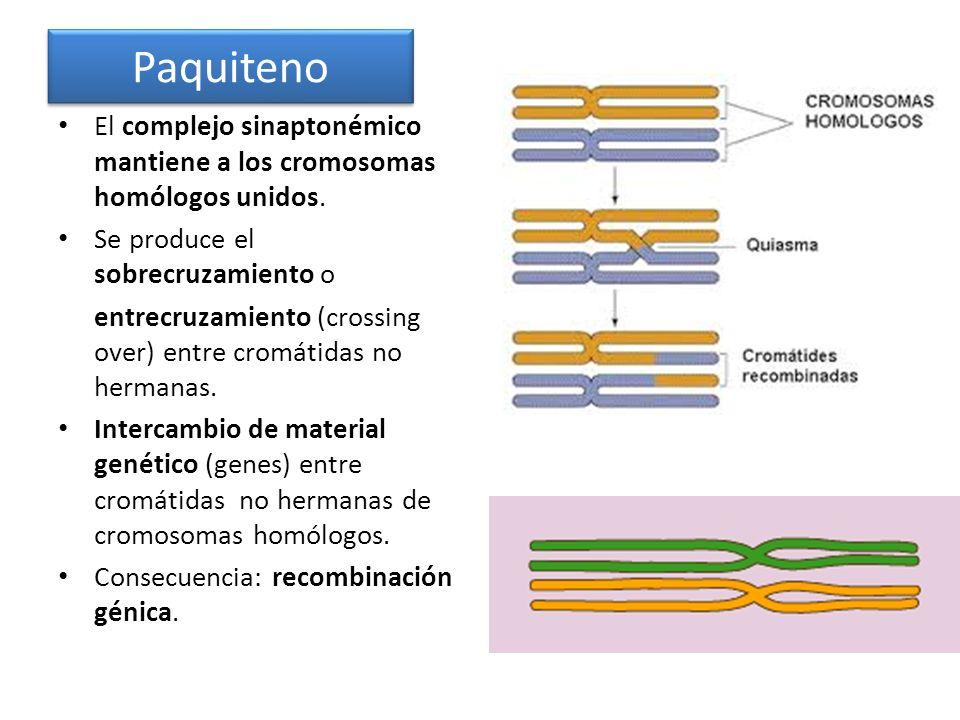 Paquiteno El complejo sinaptonémico mantiene a los cromosomas homólogos unidos. Se produce el sobrecruzamiento o.
