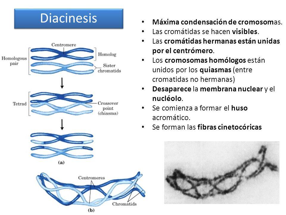 Diacinesis Máxima condensación de cromosomas.