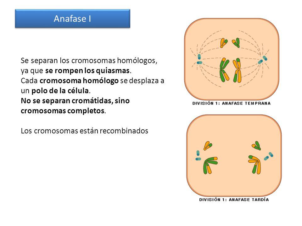 Anafase I Se separan los cromosomas homólogos, ya que se rompen los quiasmas. Cada cromosoma homólogo se desplaza a un polo de la célula.