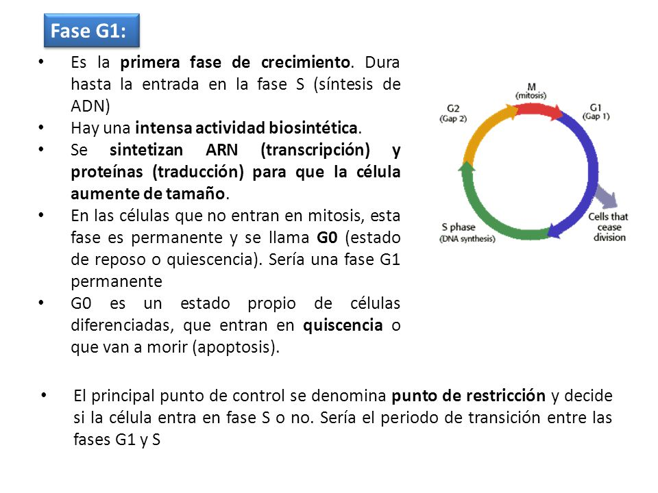 Fase G1: Es la primera fase de crecimiento. Dura hasta la entrada en la fase S (síntesis de ADN) Hay una intensa actividad biosintética.