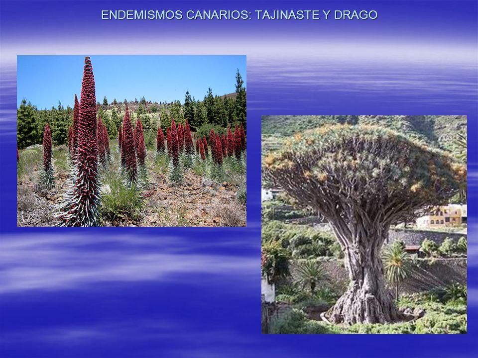 ENDEMISMOS CANARIOS: TAJINASTE Y DRAGO