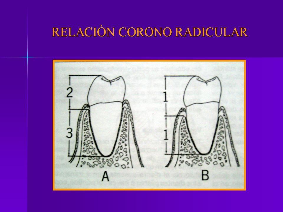 Si dividimos el diente en 5 3/5 deben de tener insercion