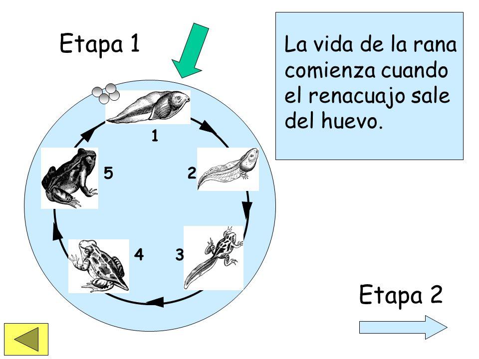 Etapa 1 La vida de la rana comienza cuando el renacuajo sale del huevo. 1 2 3 4 5 Etapa 2