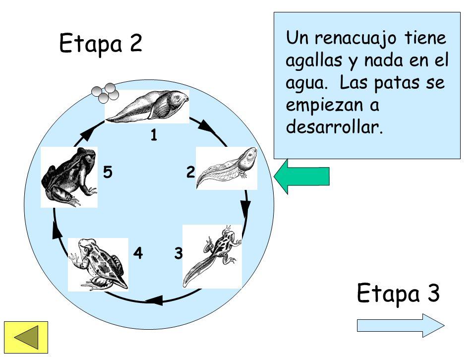 Etapa 2Un renacuajo tiene agallas y nada en el agua. Las patas se empiezan a desarrollar. 1. 2. 3.