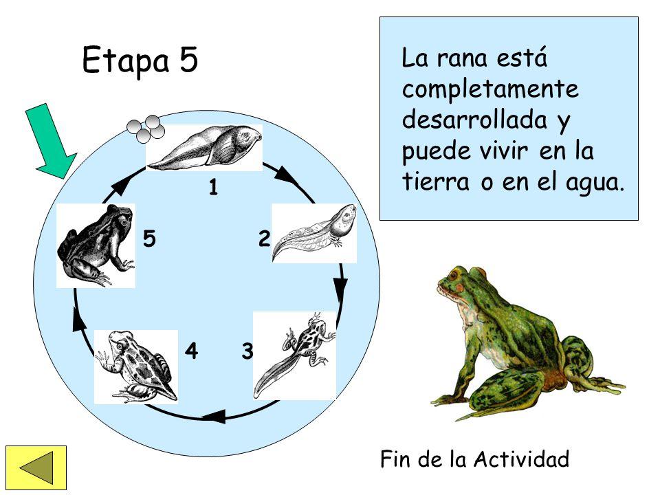 Etapa 5La rana está completamente desarrollada y puede vivir en la tierra o en el agua. 1. 2. 3. 4.