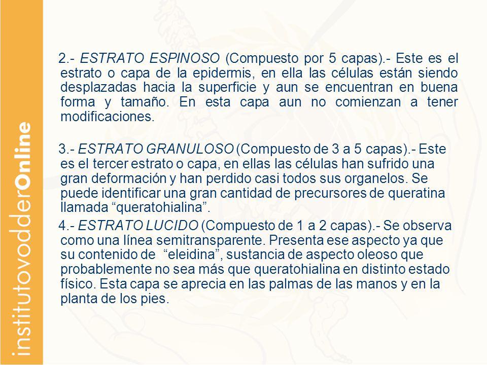 2. - ESTRATO ESPINOSO (Compuesto por 5 capas)