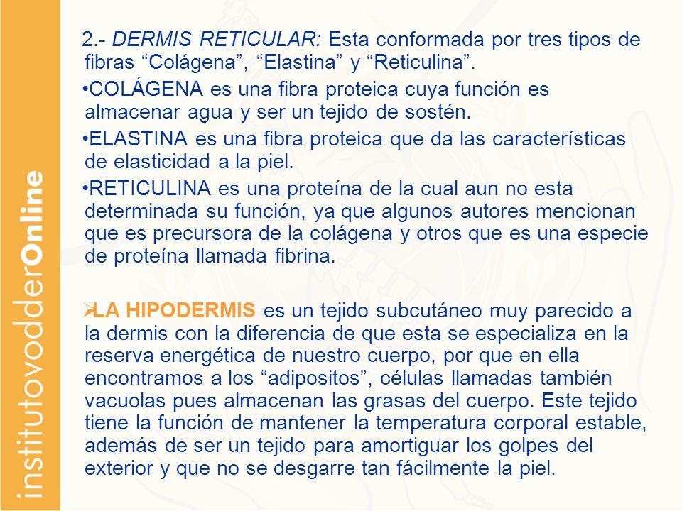2.- DERMIS RETICULAR: Esta conformada por tres tipos de fibras Colágena , Elastina y Reticulina .