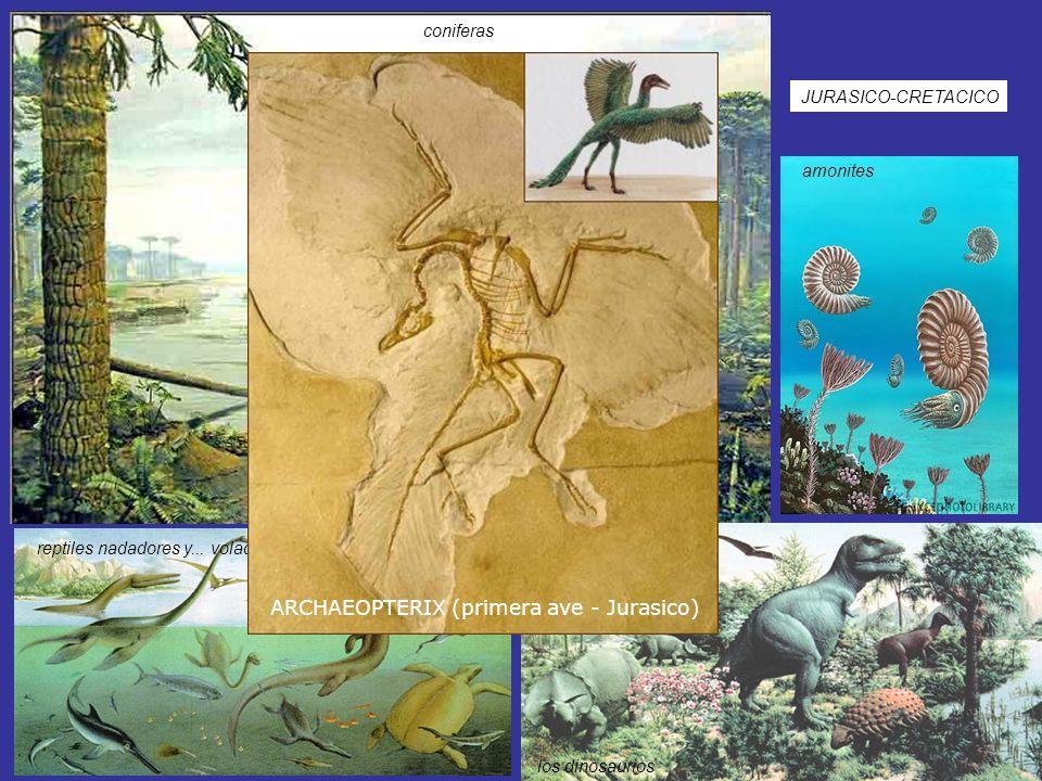 ARCHAEOPTERIX (primera ave - Jurasico)