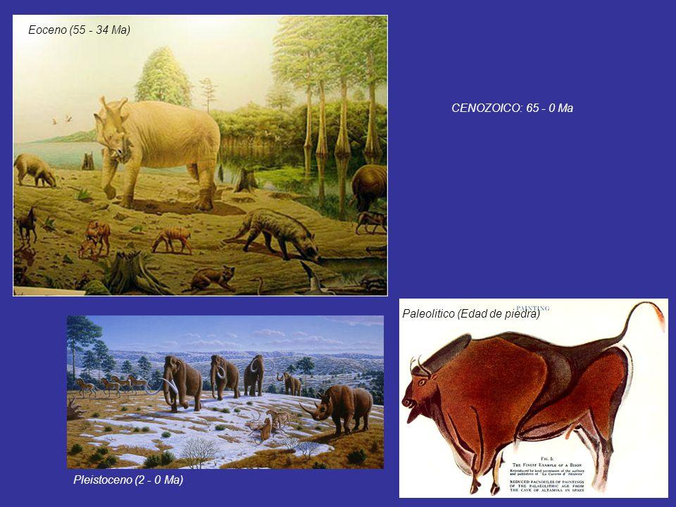 Eoceno (55 - 34 Ma) CENOZOICO: 65 - 0 Ma Paleolitico (Edad de piedra) Pleistoceno (2 - 0 Ma)