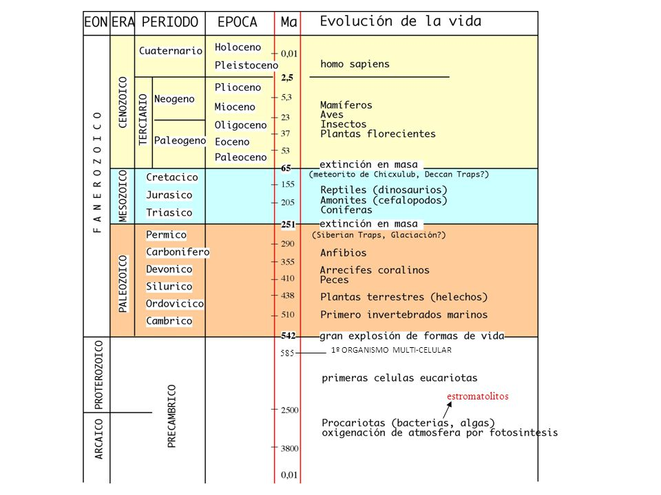 585 1º ORGANISMO MULTI-CELULAR estromatolitos