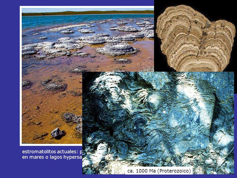ca. 1000 Ma (Proterozoico) estromatolitos actuales: peliculas bacteriales que fijan sedimento calcareo.