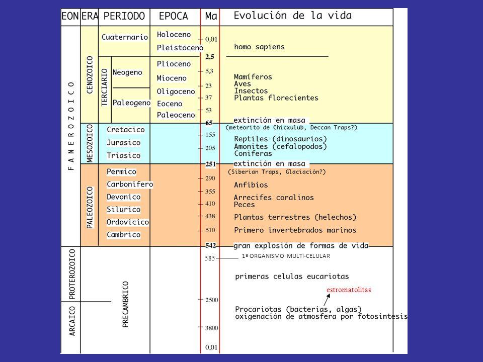 585 1º ORGANISMO MULTI-CELULAR estromatolitas