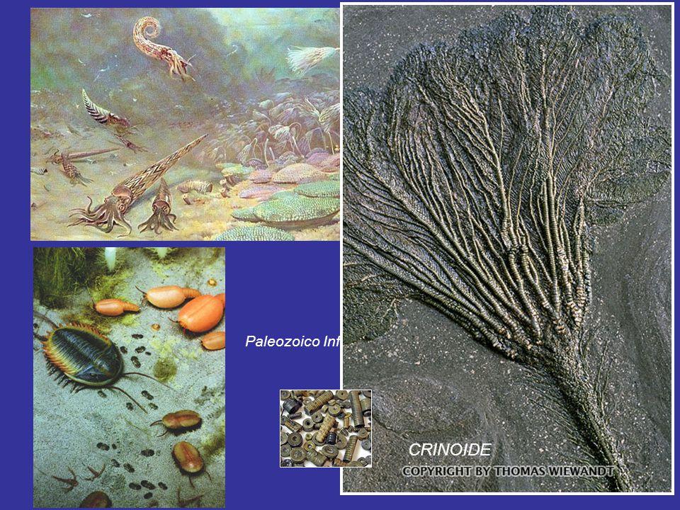 CRINOIDE Paleozoico Inferior Metaspriggina 505Ma SILURICO (444-416 Ma)