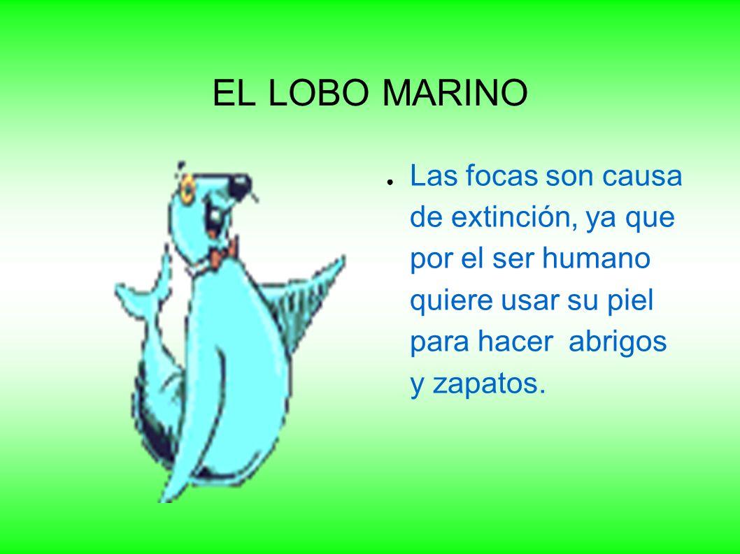 EL LOBO MARINO Las focas son causa de extinción, ya que por el ser humano quiere usar su piel para hacer abrigos y zapatos.