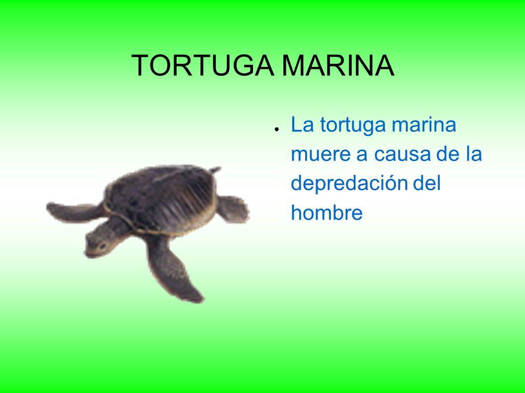 TORTUGA MARINA La tortuga marina muere a causa de la depredación del hombre