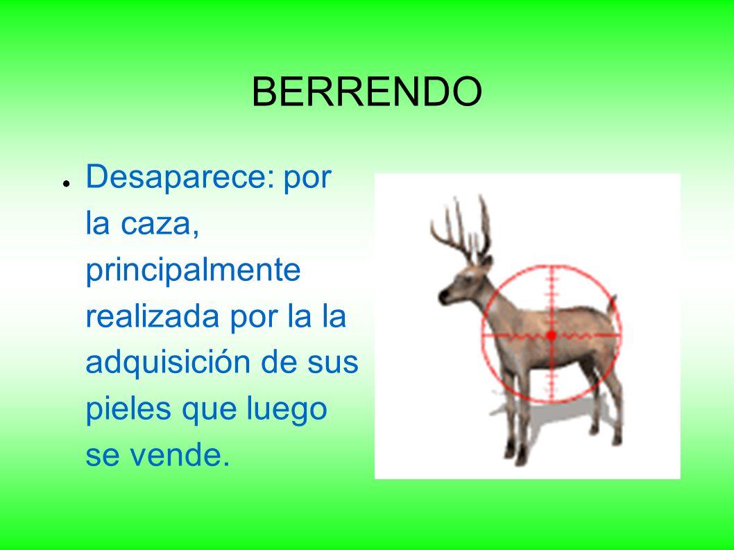 BERRENDO Desaparece: por la caza, principalmente realizada por la la adquisición de sus pieles que luego se vende.