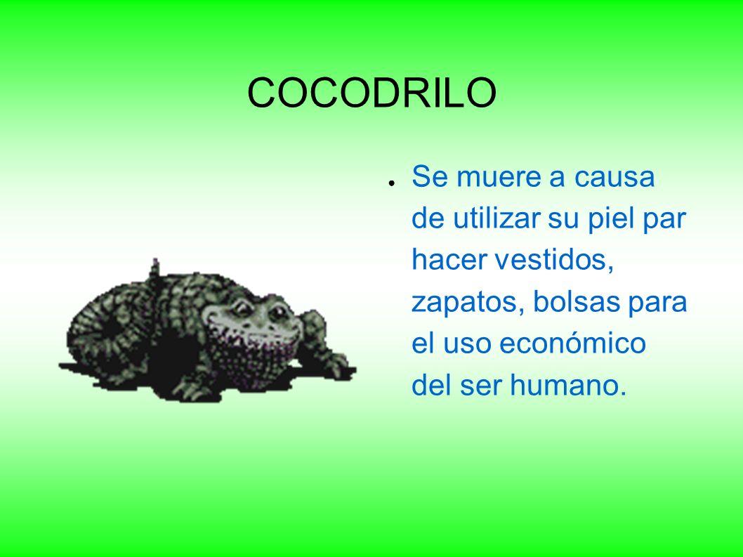 COCODRILO Se muere a causa de utilizar su piel par hacer vestidos, zapatos, bolsas para el uso económico del ser humano.
