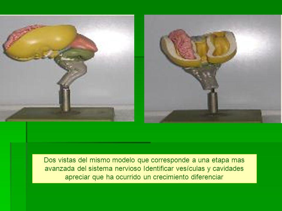 Dos vistas del mismo modelo que corresponde a una etapa mas avanzada del sistema nervioso Identificar vesículas y cavidades apreciar que ha ocurrido un crecimiento diferenciar
