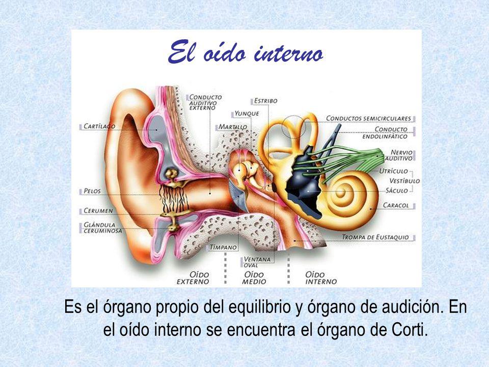 El oído interno Es el órgano propio del equilibrio y órgano de audición.