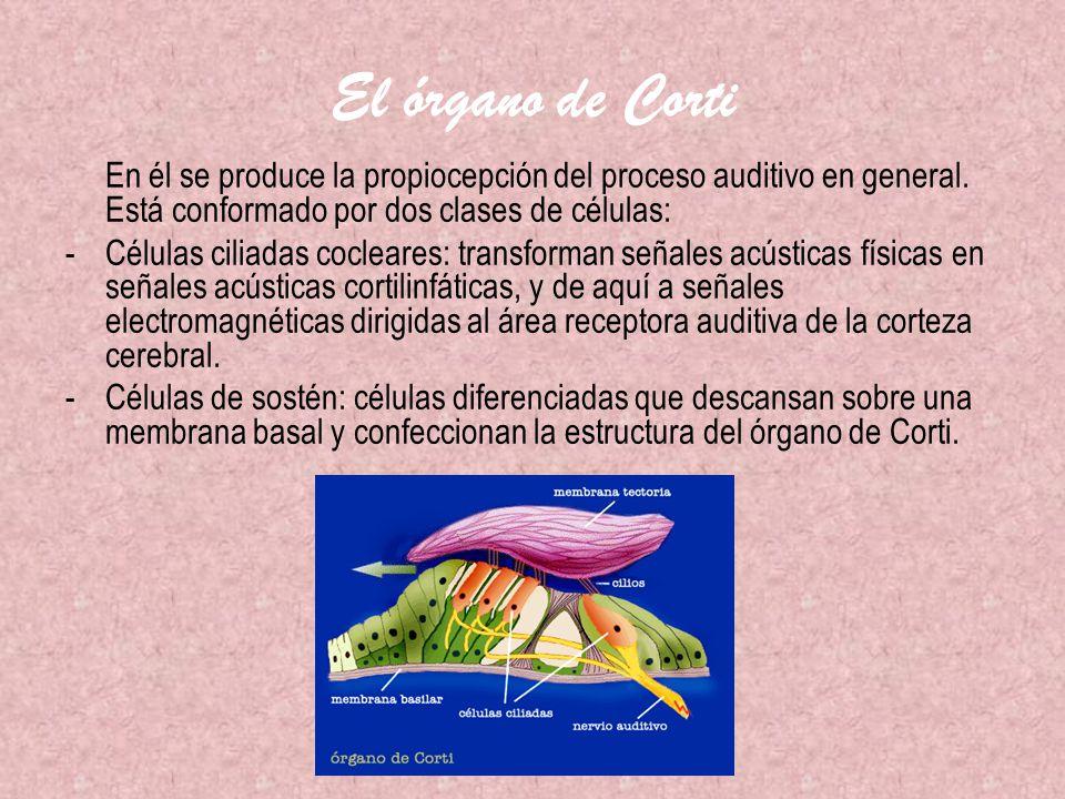 El órgano de Corti En él se produce la propiocepción del proceso auditivo en general. Está conformado por dos clases de células:
