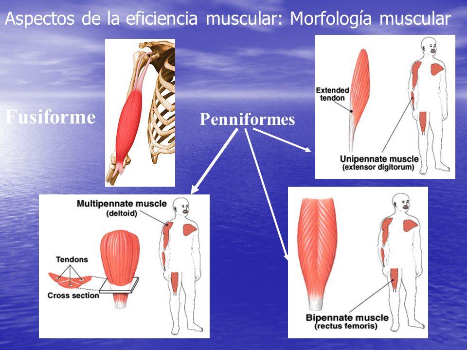 Fusiforme Aspectos de la eficiencia muscular: Morfología muscular