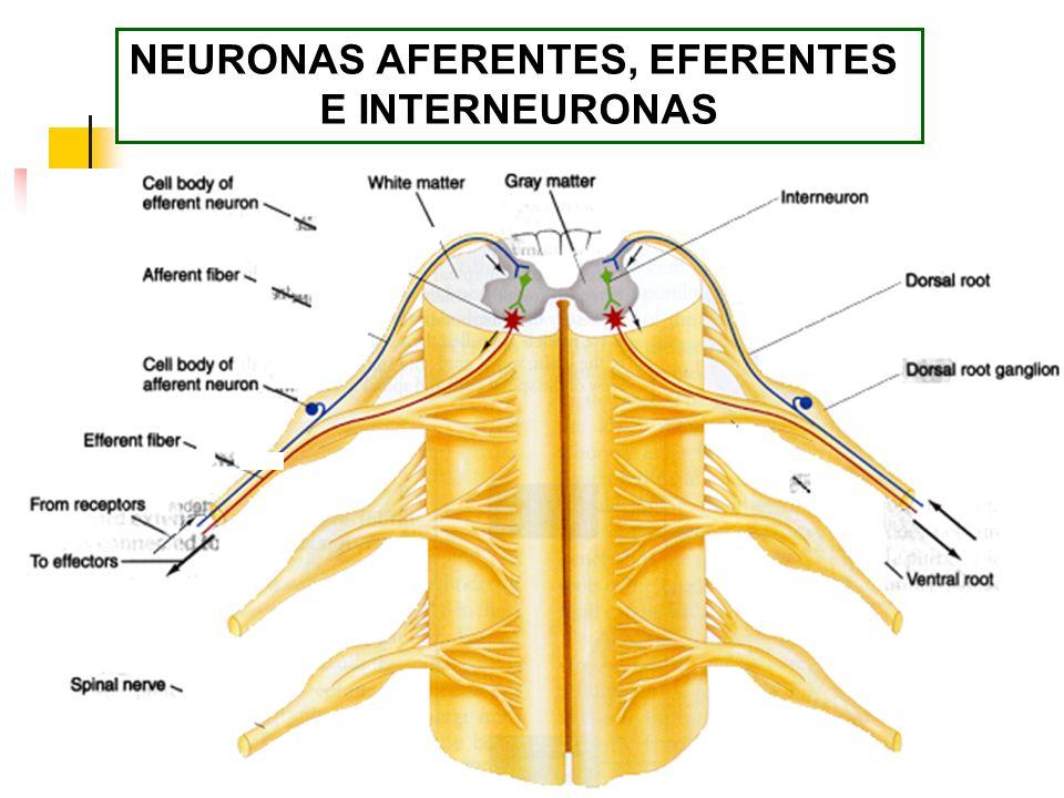 NEURONAS AFERENTES, EFERENTES