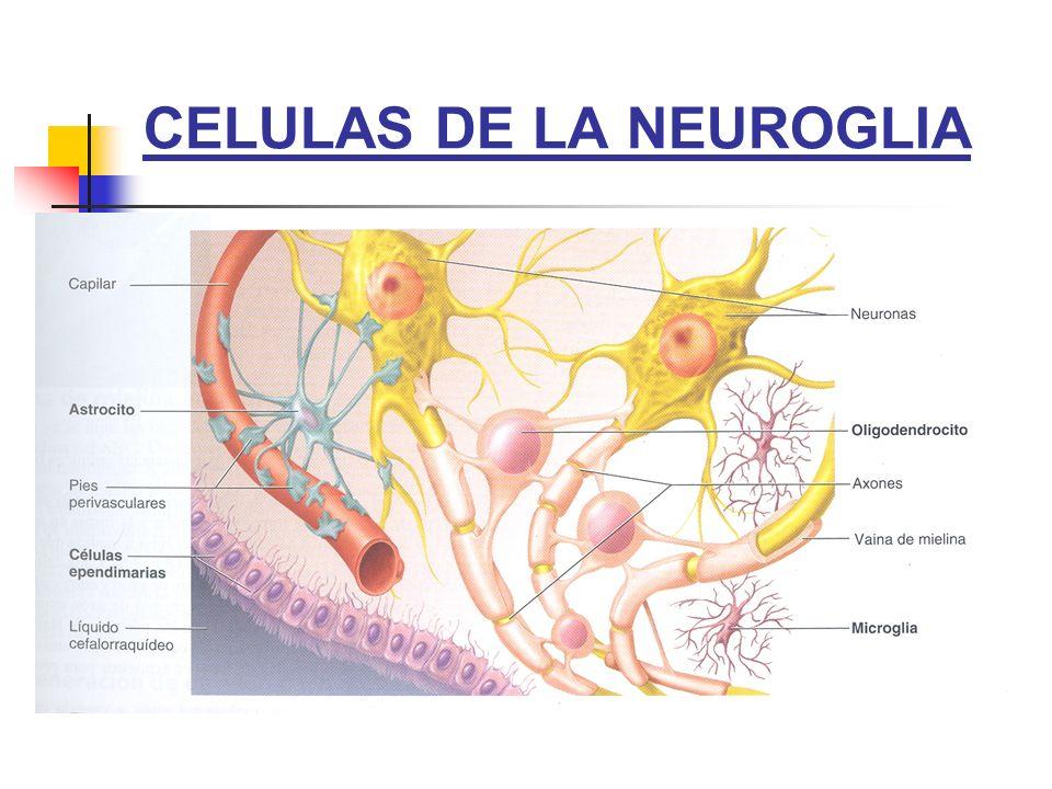 CELULAS DE LA NEUROGLIA