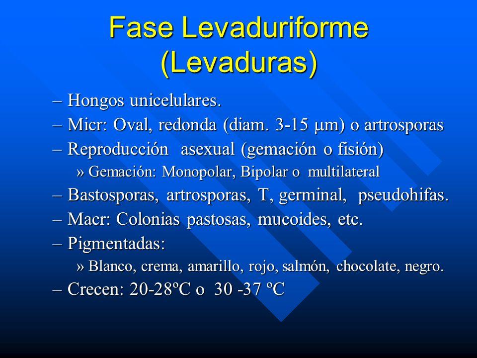 Fase Levaduriforme (Levaduras)