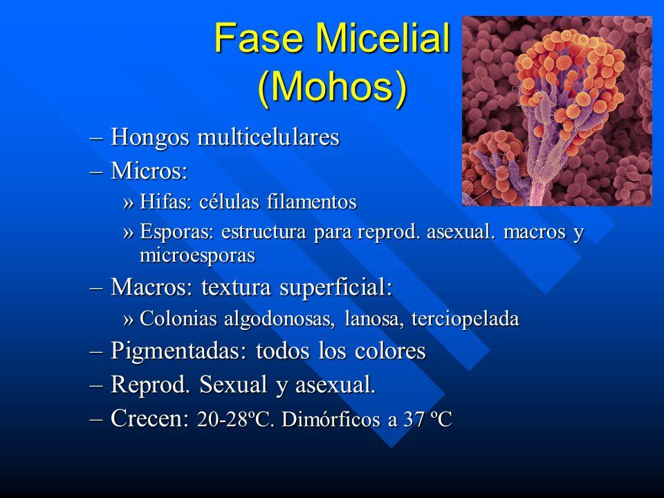 Fase Micelial (Mohos) Hongos multicelulares Micros: