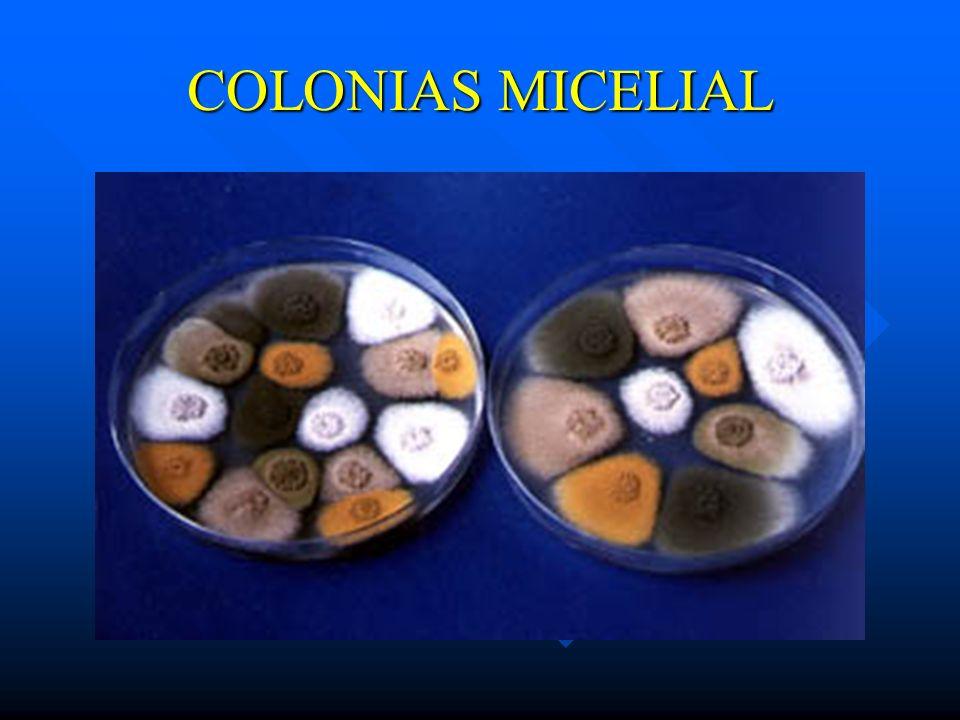 COLONIAS MICELIAL