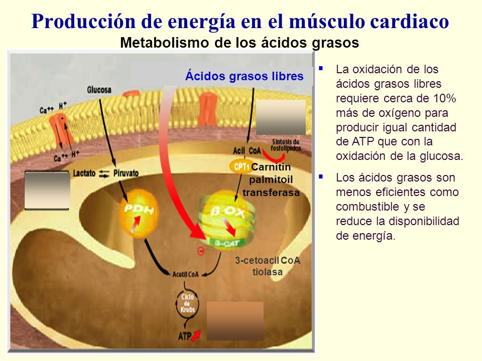 Producción de energía en el músculo cardiaco Metabolismo de los ácidos grasos