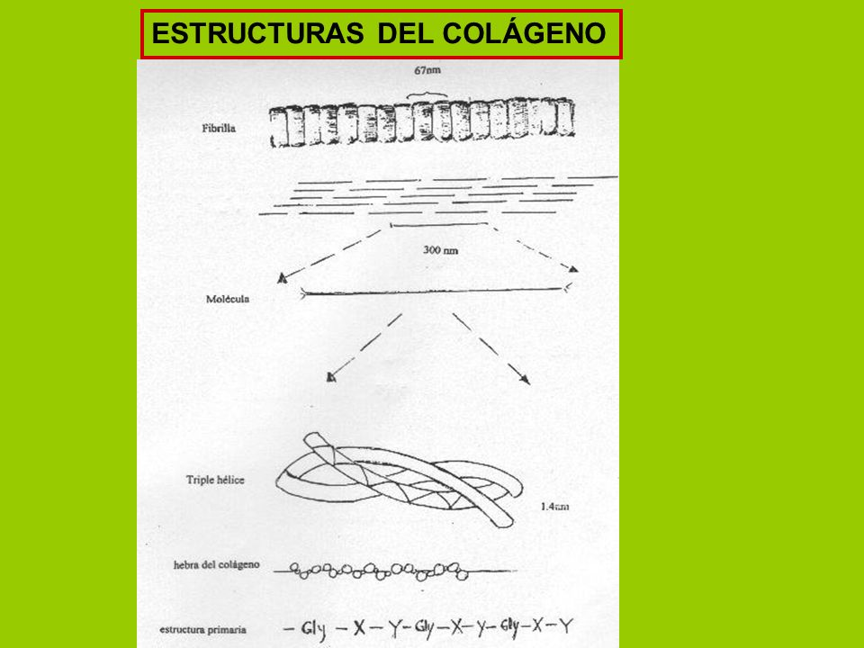 ESTRUCTURAS DEL COLÁGENO