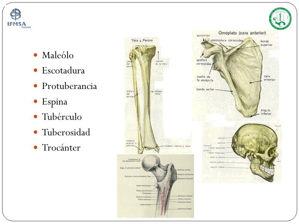 Maleólo Escotadura Protuberancia Espina Tubérculo Tuberosidad Trocánter