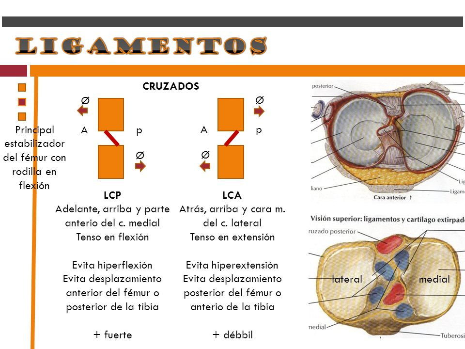 Principal estabilizador del fémur con rodilla en flexión A p A p