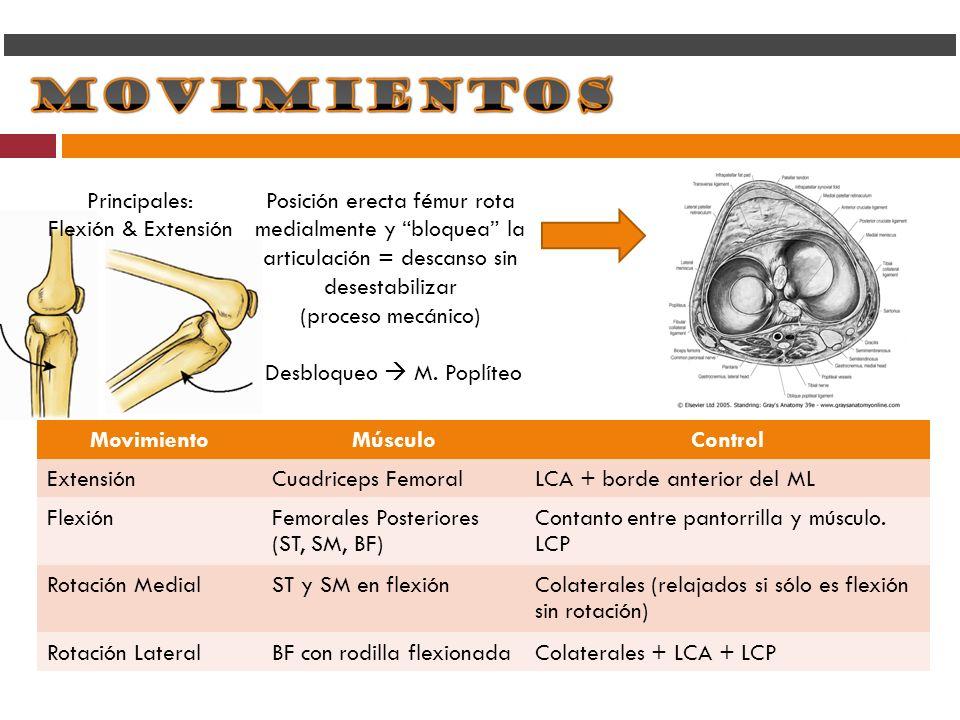 Principales: Flexión & Extensión. Posición erecta fémur rota medialmente y bloquea la articulación = descanso sin desestabilizar.