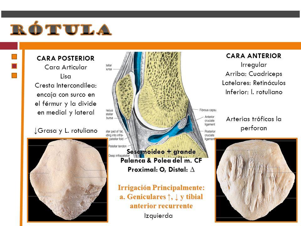 Latelares: Retináculos Inferior: l. rotuliano
