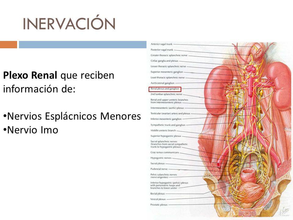 INERVACIÓN Plexo Renal que reciben información de: